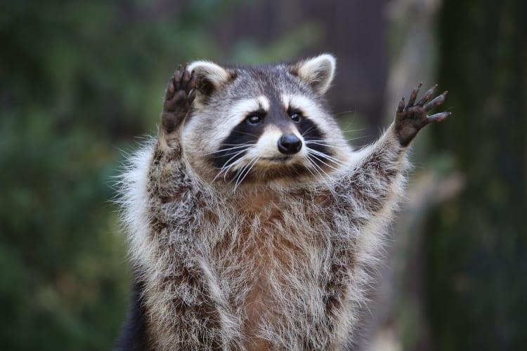 Raccoons Attack CNN Reporter
